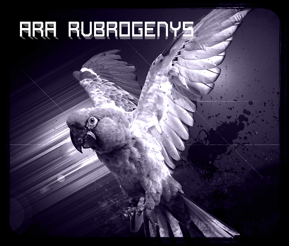 Ara Rubrogenys, a photoshop manipulation and composition using different techniques